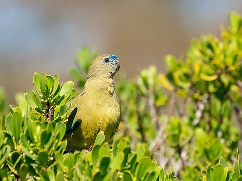 Rock Parrot (Neophema petrophila)