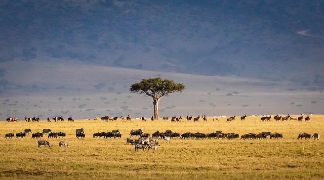 Classic Mara migration scene, with distant