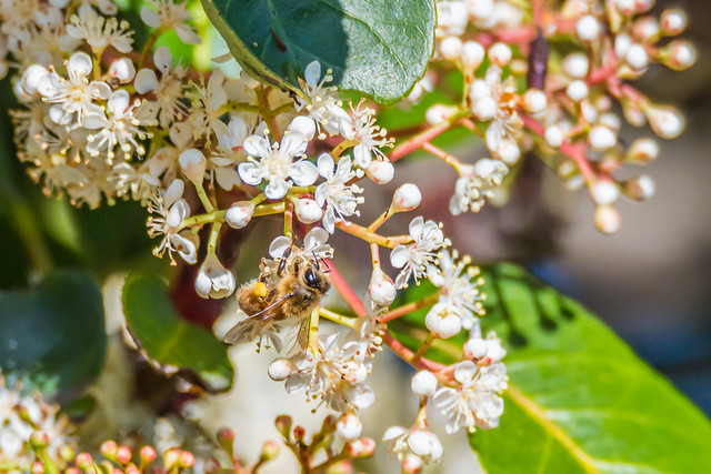 White blossom flowers on a tree and a honey bee