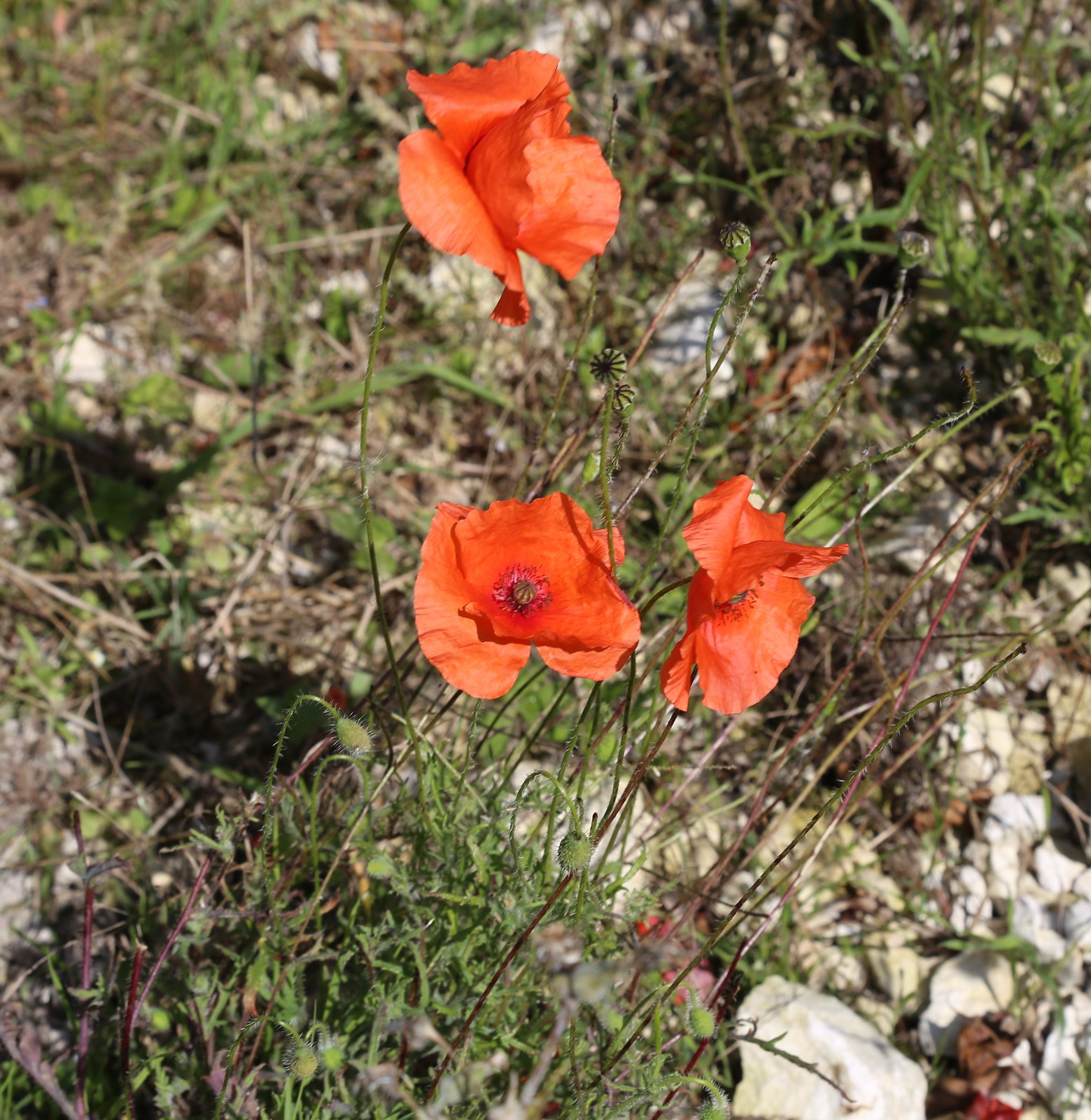 Poppies - Firle