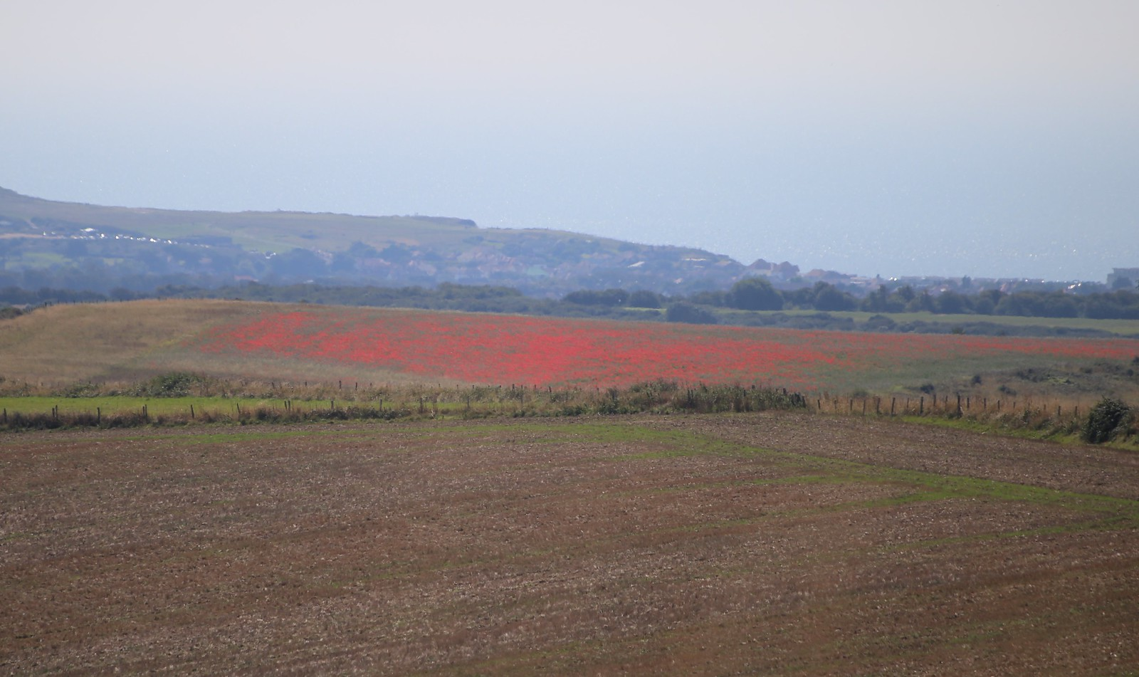 Distant Poppy field towards Norton Papaver rhoeas