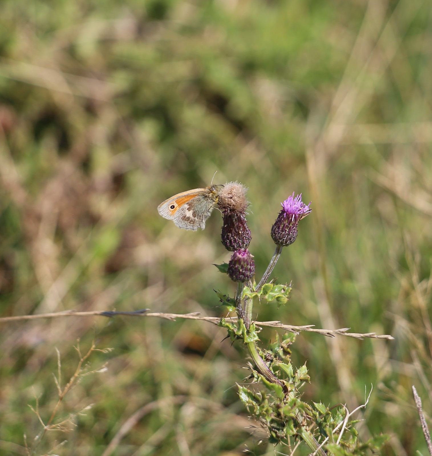 Small Heath on Creeping Thistle - near Alciston