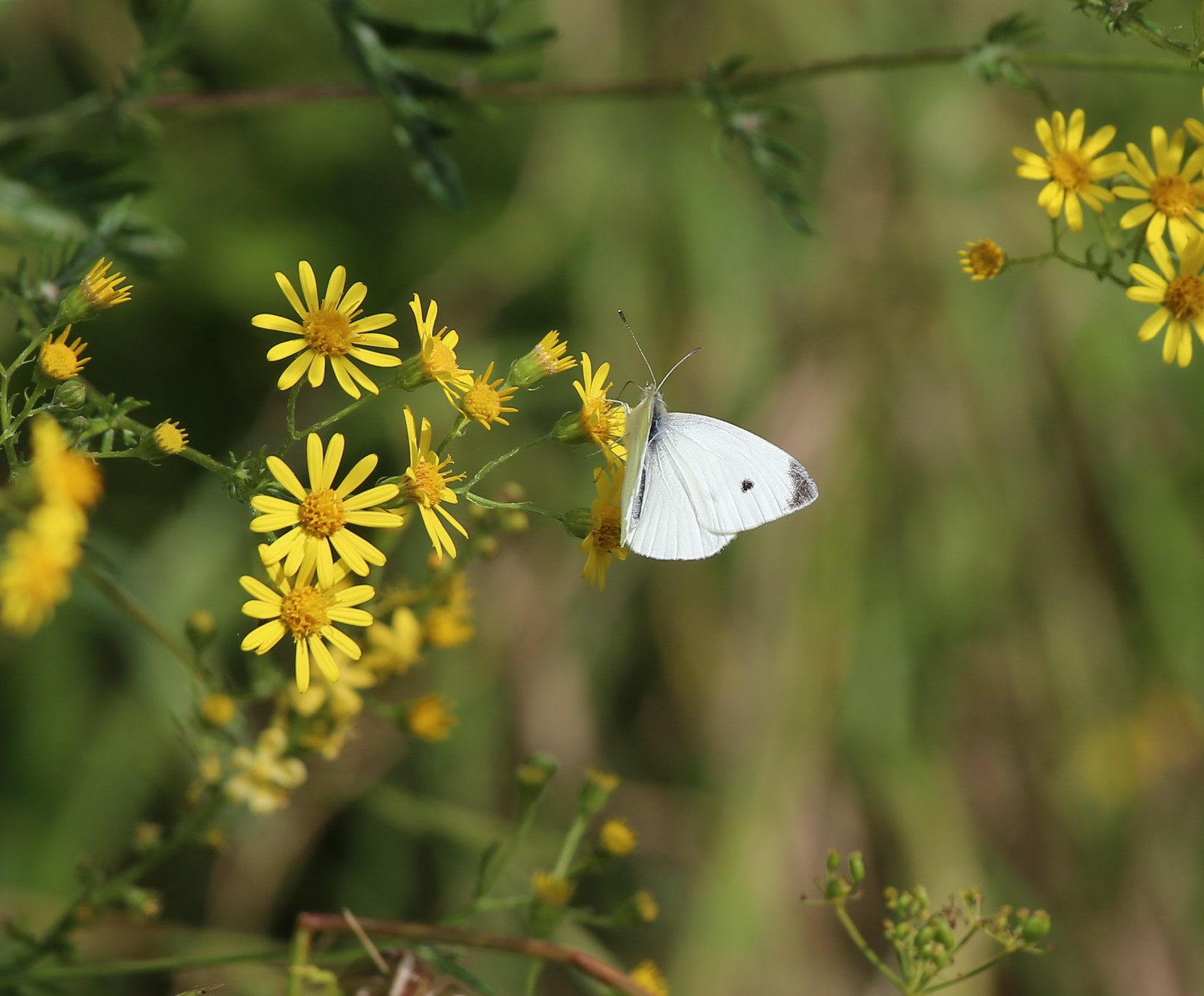 Small White on Ragwort - near West Dean