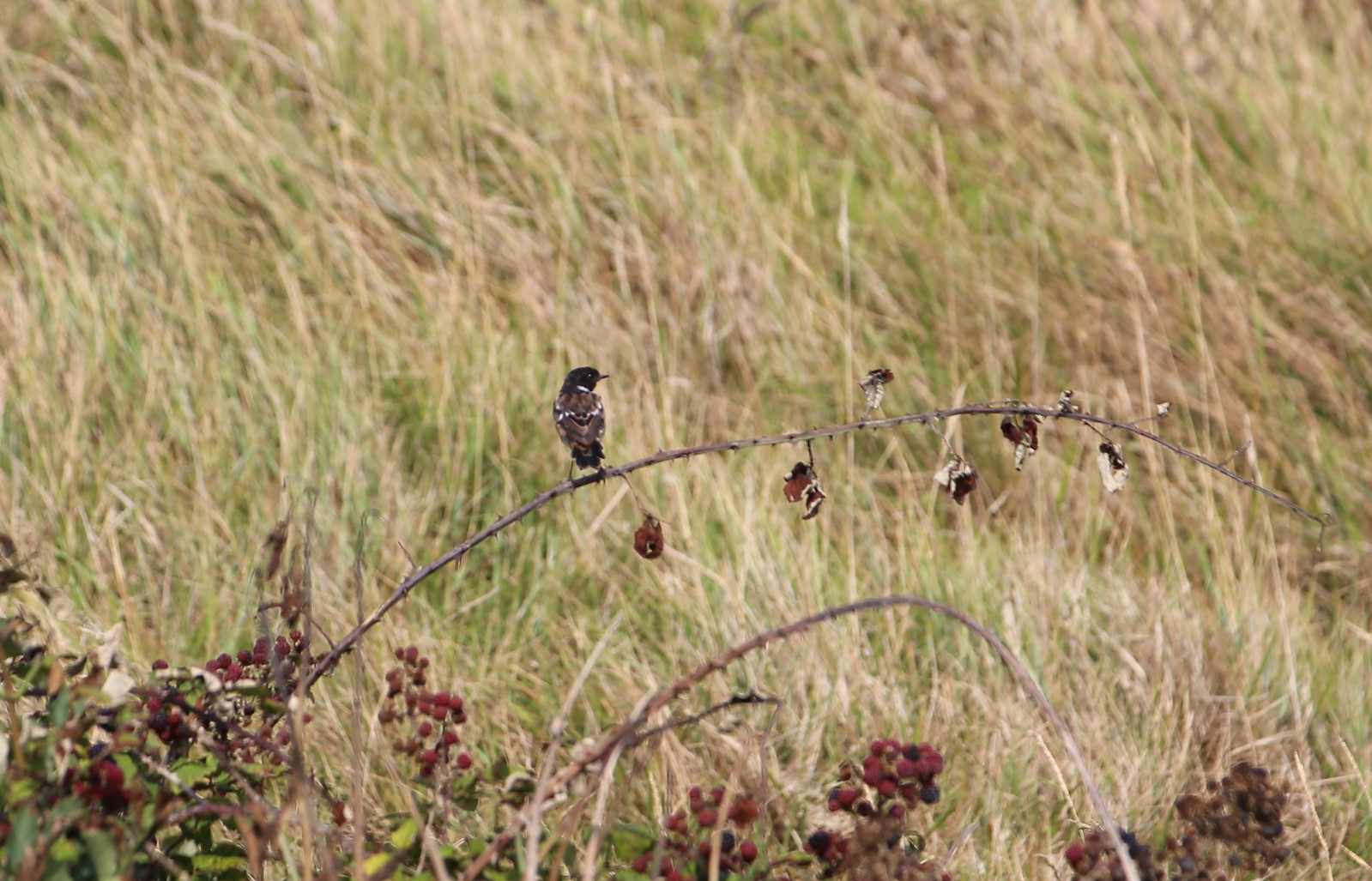 Stonechat - Cuckmere Haven
