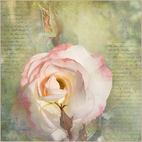 flowers roses 016079 rx100m6 rosen flower flora fleur plants pflanzen plant pflanze photoborder textures texturen texture textur ts2 topazstudio2 lynneanzelc seduction nature natur raindrops waterdrops droplets doublefantasy