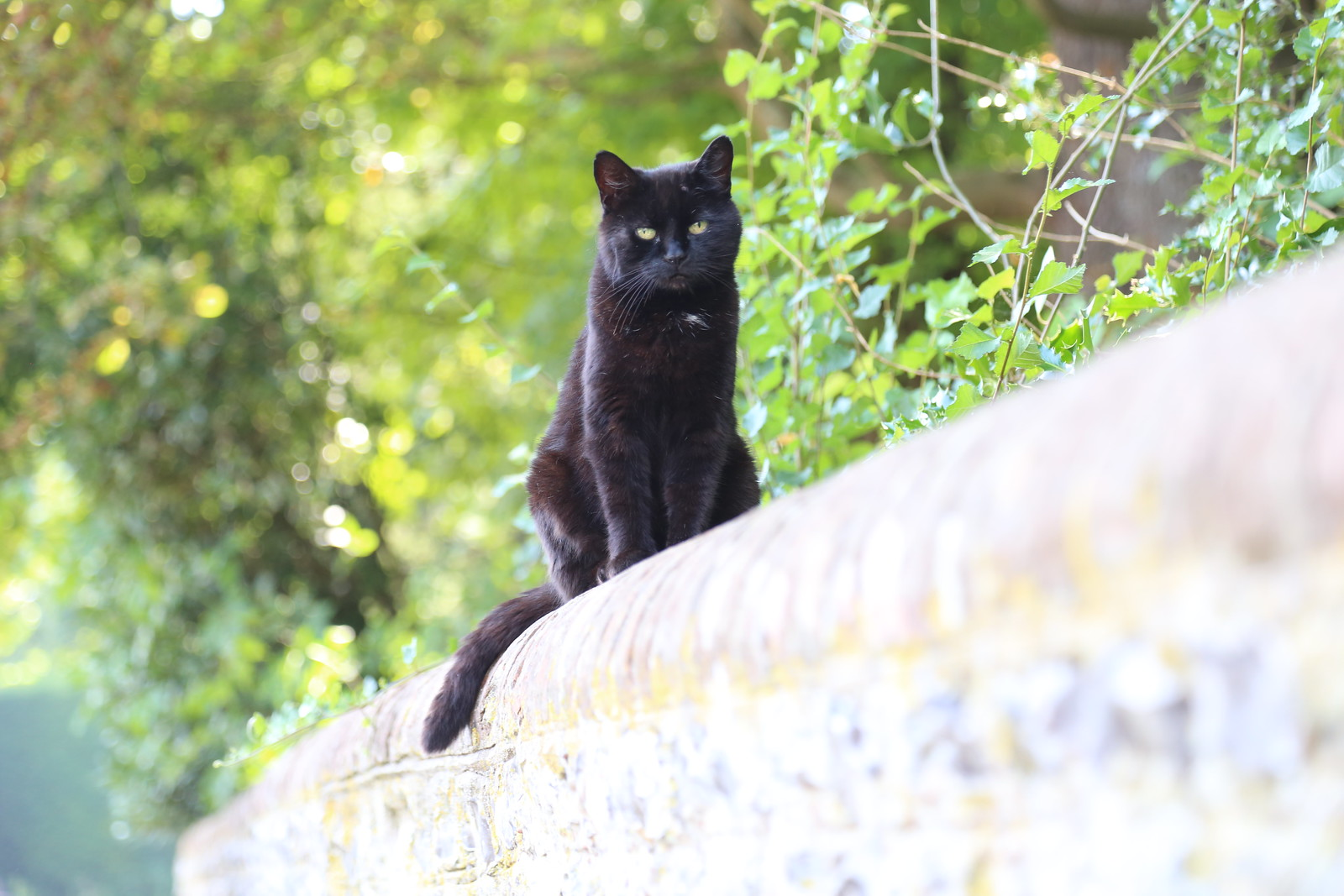 Black Cat - Firle
