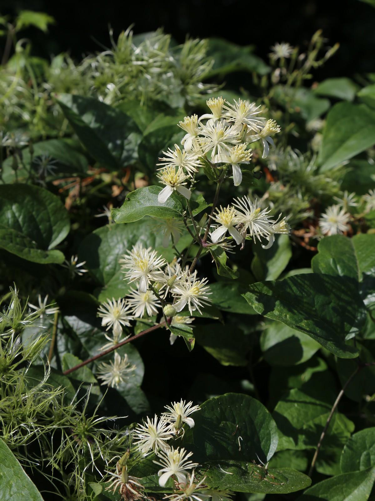 Old Man's Beard flowers - Glynde
