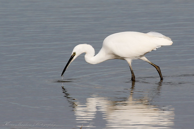 Little Egret_82A5630(explored)