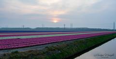 Hyacinth field's, Polderbaan, Netherlands.