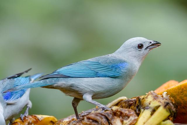 Blue-grey Tanager ..Tangara évêque ..Costa Rica Album