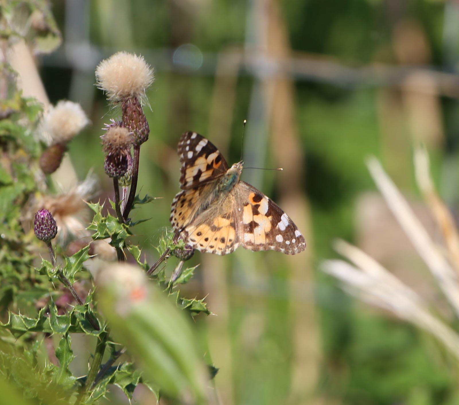 Painted Lady on Creeping Thistle - Exceat