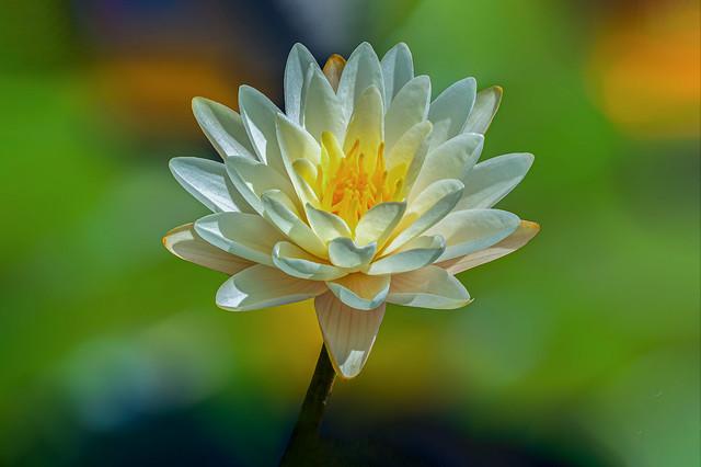 Waterlily Light