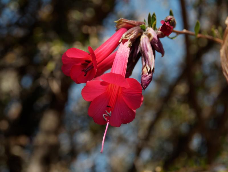 fleur embleme du Pérou la cantua  48658349487_401486d526_c