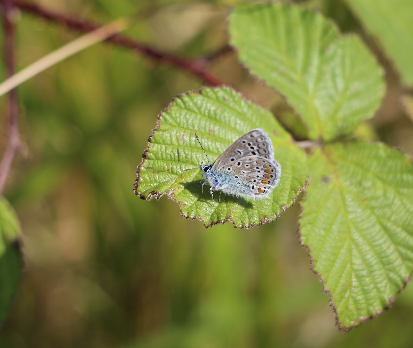 Common Blue - Alfriston