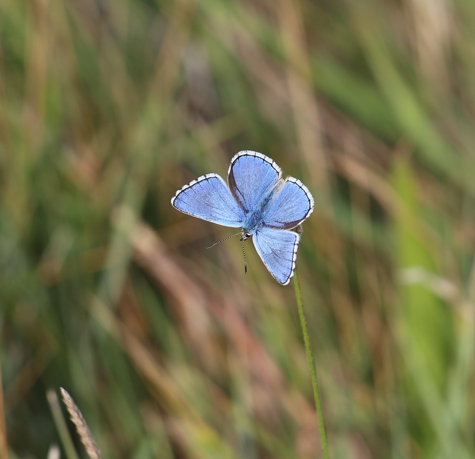 Adonis Blue - Cuckmere Haven