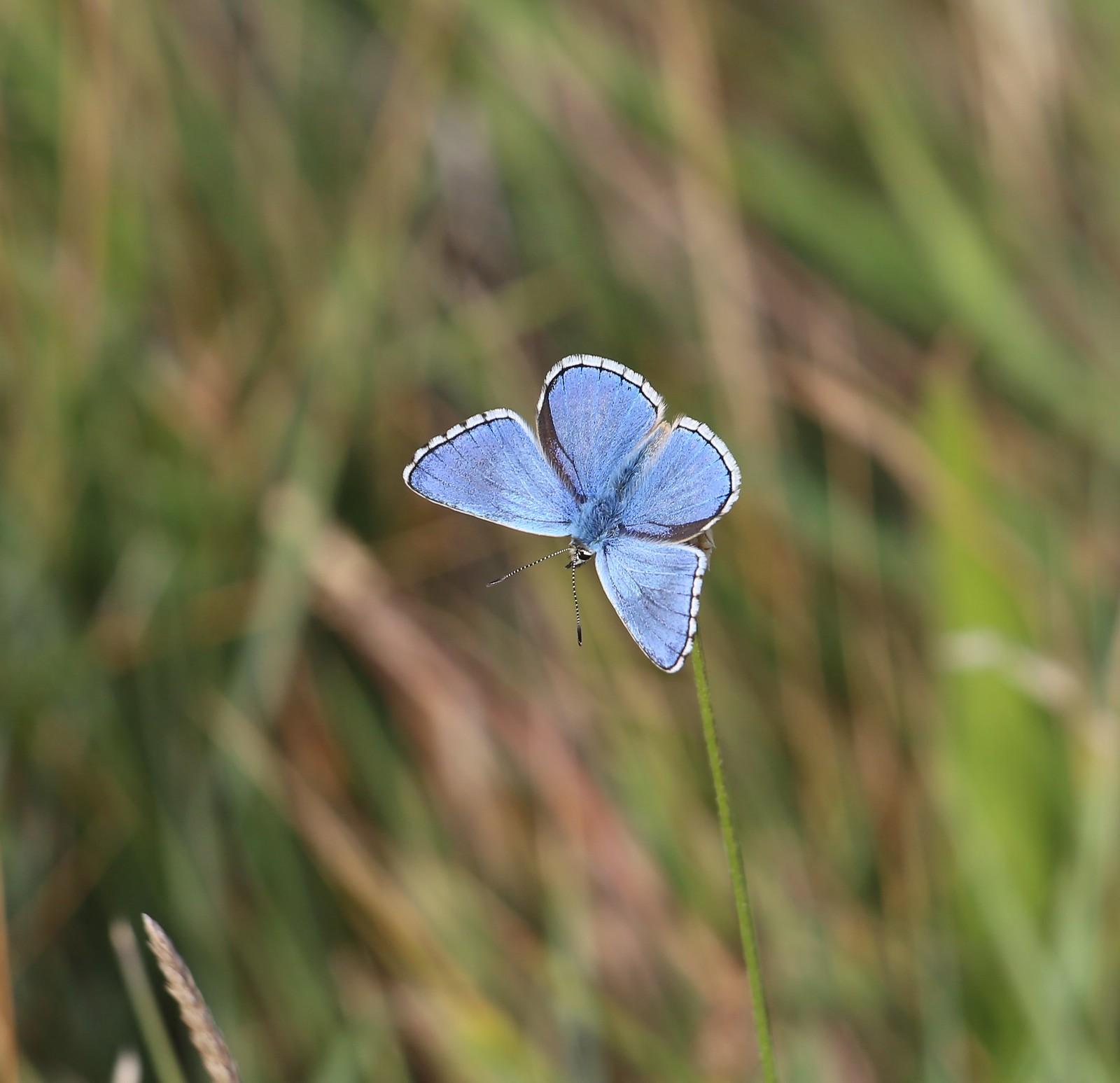 Adonis Blue - Cuckmere Haven