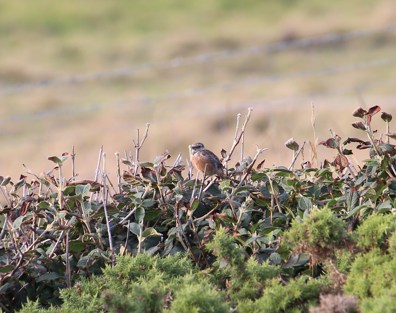 Stonechat - Seven Sisters