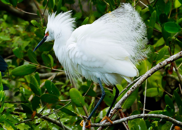Snowy Egret With Ruffled Feathers (Egretta thula)