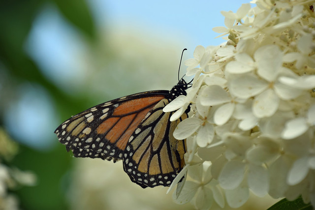Monarch of the Hydrangea