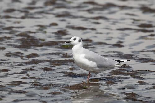 Nonbreeding Bonaparte's Gull