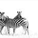 High key zebras