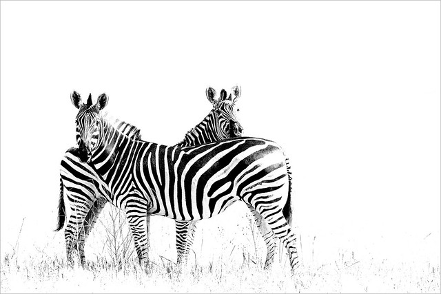 High key zebras