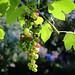 Grape Ripening [Explored 2019-09-01]