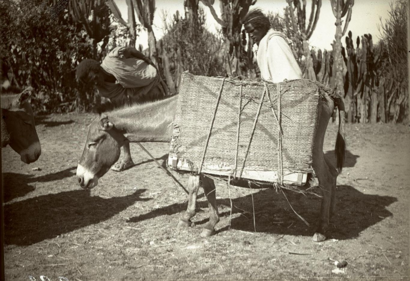 283. Абиссиния, провинция Харар, г. Харар. Нагруженный ослик