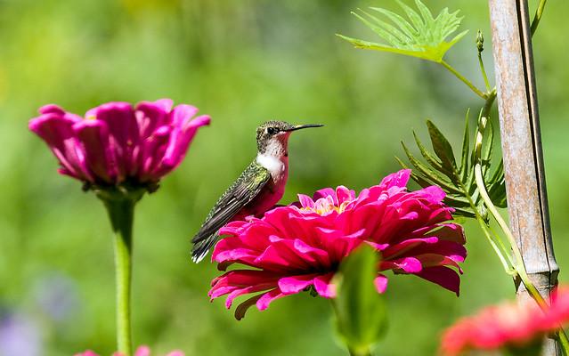 0P7A4035   Ruby-throated Hummingbird , Canada