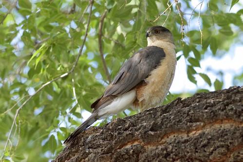 Cooper's Hawk (Accipiter cooperii), Portal, Arizona
