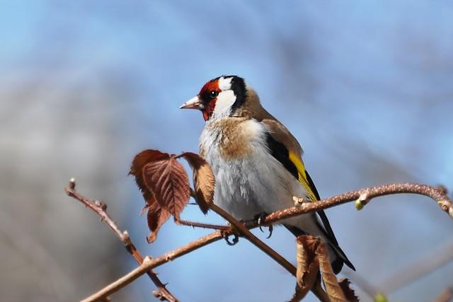 Goldfinch / Щегол черноголовый / Carduelis carduelis