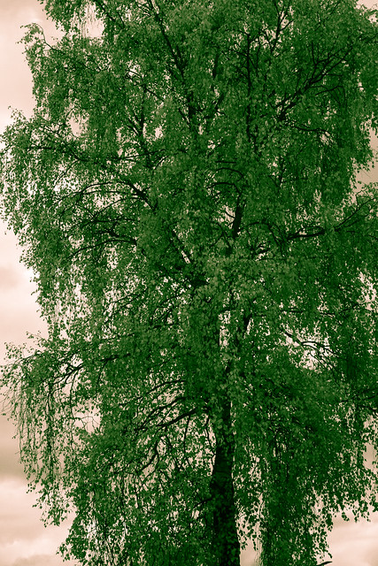 ir silver birch