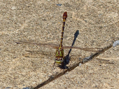 dragonfly poolesvillequad frederickcounty maryland insect nature wildlife
