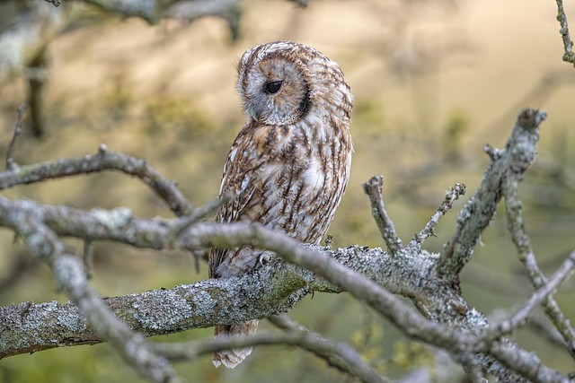 Tawny Owl 2 Aug 2019
