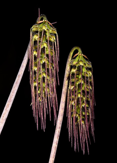 Bulbophyllum lemniscatoides - Judy Carney