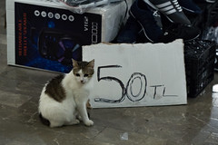 Cheap cat