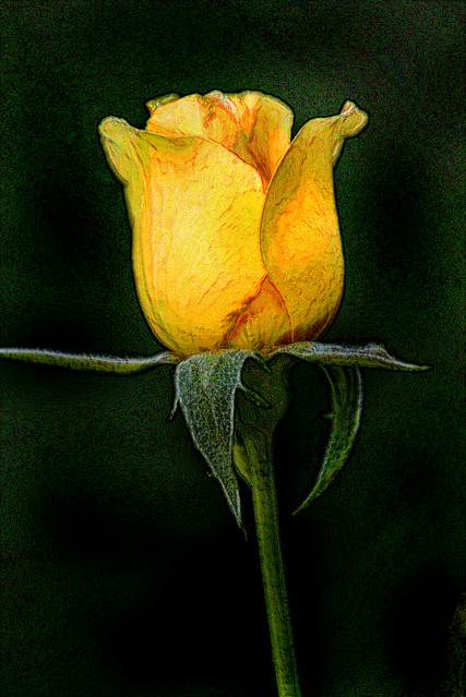 Artistic Profile-Yellow Rose 6-0 F LR 8-11-19 J267