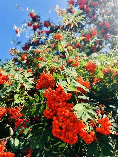 rowan berries, saltsjöbaden, stockholm, sweden, august 2019 💚
