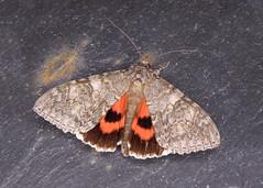 72.078 Red Underwing - Catocala nupta