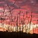 Prairie Dawn