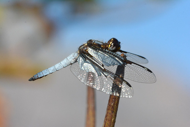 Palpopleura vestita - Silver widow (male)