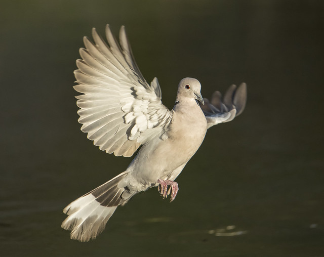 Rola Turca | Streptopelia decaocto | Euroasian collared dove