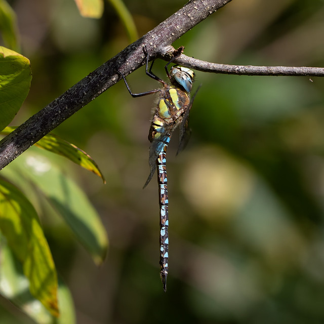 Migrant hawker m (Catcott Heath)