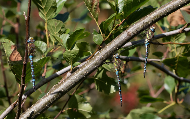 Migrant hawkers m x3 (Catcott Heath)