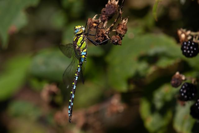 Southern Hawker m (Catcott Heath)