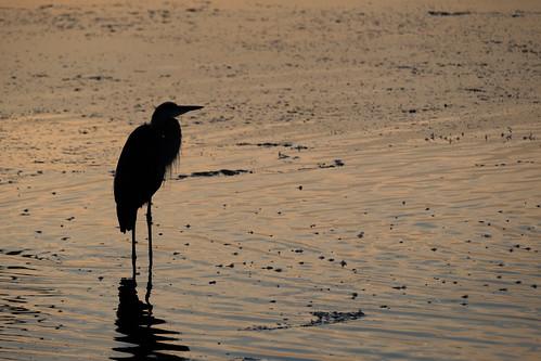 havredegrace maryland fuji fujifilm water morning dawn sunrise silhouette bird heron