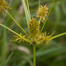 Straw-colored Flatsedge - Photo (c) Brett Whaley, some rights reserved (CC BY-NC)
