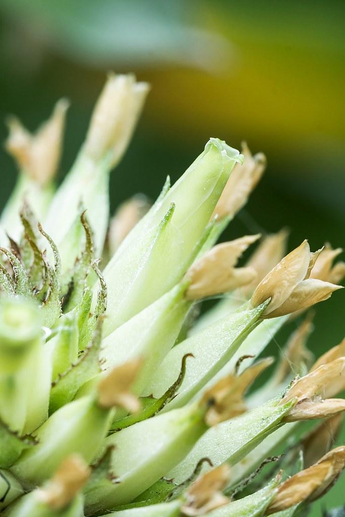 Aechmea pectinata 1636-1; Bromeliaceae (3)