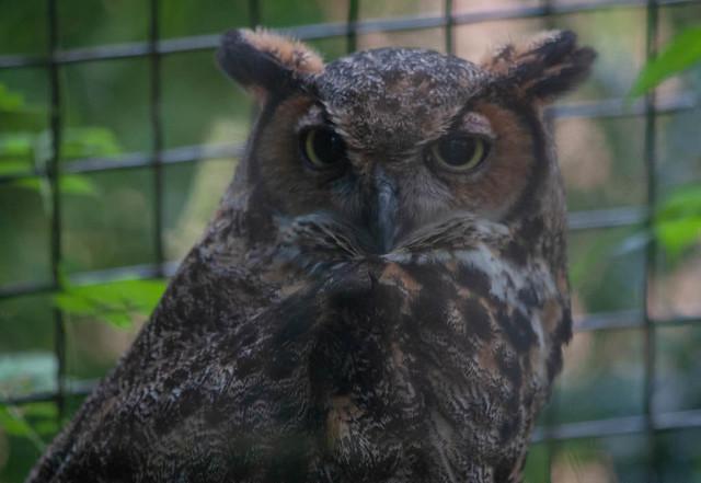 Owl Stares