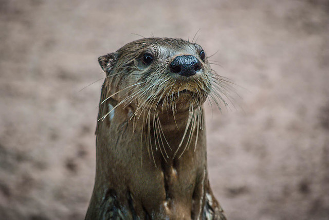 Wet Otter Out of the Water